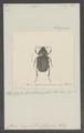 Hopliopsis - Print - Iconographia Zoologica - Special Collections University of Amsterdam - UBAINV0274 020 02 0019.tif
