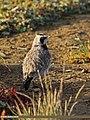 Horned Lark (Eremophila alpestris) (15709703779).jpg