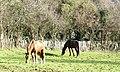 Horses grazing alongside Lon Cae Hywel - geograph.org.uk - 331557.jpg