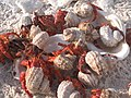 Howland Islands Hermit Crabs (14365063320).jpg