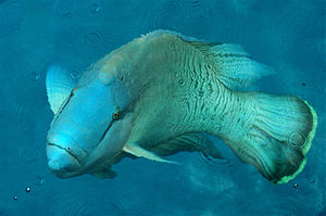 Humphead wrasse - A humphead wrasse at the water's surface on the Great Barrier Reef