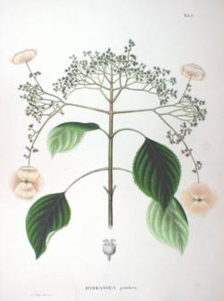 Hydrangea anomala - Wikipedia, la enciclopedia libre