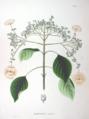 Hydrangea anomala ssp petiolaris SZ54.png