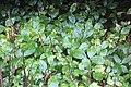 Hydrangea macrophylla (Thunb.) Ser. (AM AK361280-6).jpg