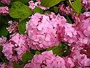Hydrangea macrophylla cultivar.jpg