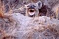 Hyena (13558708083).jpg