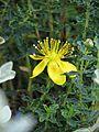 Hypericum balearicum (9494637902).jpg