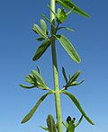 Hypericum perforatum leaf2 (14445820120).jpg