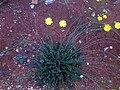 Hypochoeris radicata 2008-5-15 DehesaBoyaldePuertollano.jpg