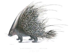 Crested porcupine - Image: Hystrix cristata Hardwicke