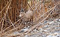 Ibex יעל - panoramio.jpg