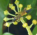 Ichneumon Wasp - Flickr - gailhampshire (13).jpg