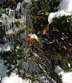 Icicles and snow in an evergreen bush.JPG