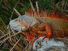 Iguana iguana, with blue and red coloration.jpg