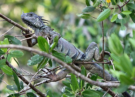 iguana montada en una rama en la manzanilla mexico