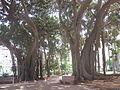 Il ficus magnolioides piazza Marina a Palermo.JPG