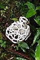 Ileodictyon cibarium (Phallaceae ) — introduced from New Zealand (30267728295).jpg