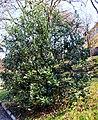 Ilex aquifolium Prague BG 2016 2.jpg