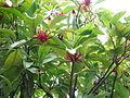 Illicium floridanum (18127918846).jpg