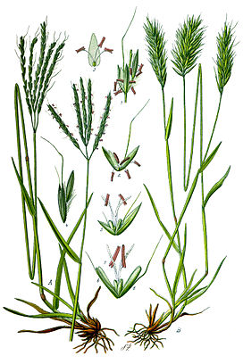 Illustration Anthoxanthum odoratum clean.jpg