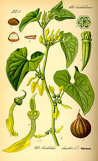 Illustration Aristolochia clematitis0