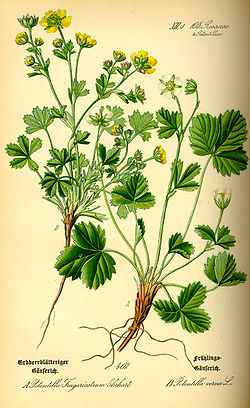 Illustration Potentilla sterilis0.jpg