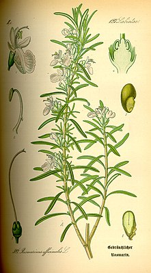 Rosmarin (Rosmarinus officinalis), Illustration