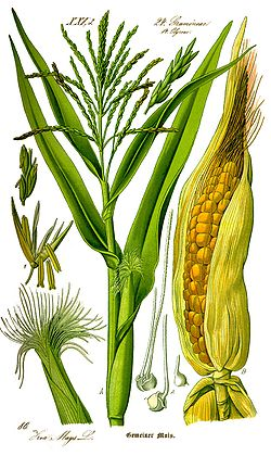 Illustration Zea mays0 clean.jpg