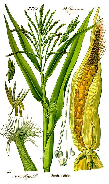 File:Illustration Zea mays0 clean.jpg