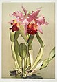 Illustration from Reichenbachia Orchids by Frederick Sander, digitally enhanced by rawpixel-com 150.jpg