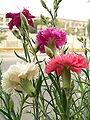 Image-Dianthus schabaud2.JPG