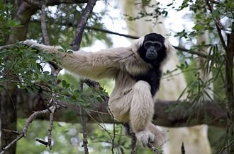 Botum Sakor National Park - Botum Sakor National Park has a very rich and varied wildlife, some of which is unique to the world. The pileated gibbons (Hylobates pileatus) are just one of eight globally endangered mammalian species found living here.