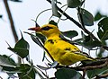 Indian Golden Oriole, Vedantangal Bird Sanctuary.jpg