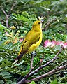 Indian Golden Oriole (Oriolus kundoo), Kolkata IMG 4543.jpg