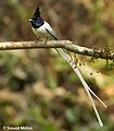 Indian Paradise Flycatcher - Adult Male SM.jpg