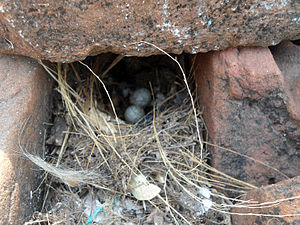 Indian robin - Nest with eggs.