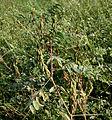 Indigofera astragalina (Phulzadi) W IMG 4054.jpg