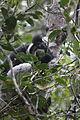 Indri in Andasibe 12.JPG