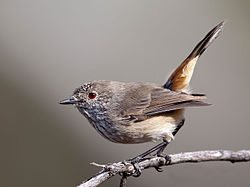Inland Thornbill (5669197054) - crop.jpg