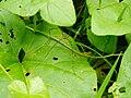 Insect harvestman 20070824 0002.jpg