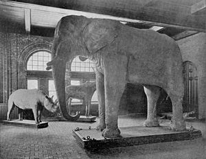 Jumbo - 1889 photograph of Jumbo remains at Barnum Hall