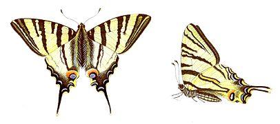 Iphiclides podalirius - Segelfalter.jpg