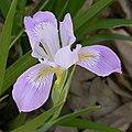 Iris douglasiana flower 2003-03-17.jpg