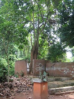 Iroko - Image: Iroko tree
