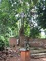 Iroko tree.jpg