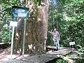 Iron Wood largest in East Kalimantan - panoramio.jpg