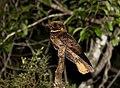 JOÃO-CORTA-PAU (Antrostomus rufus) (15846824680).jpg