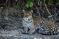 Jaguar in Pantanal Brazil 2.jpg