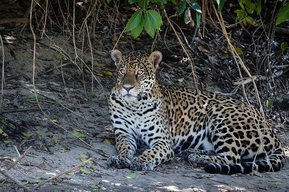 Jaguar in Pantanal Brazil 2