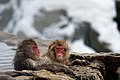 Japanese Macaque Fuscata Image 367.jpg